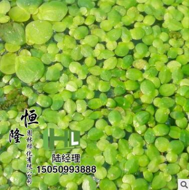 批发优质水生植物 浮萍 浮叶植物 净水植物 漂浮植物