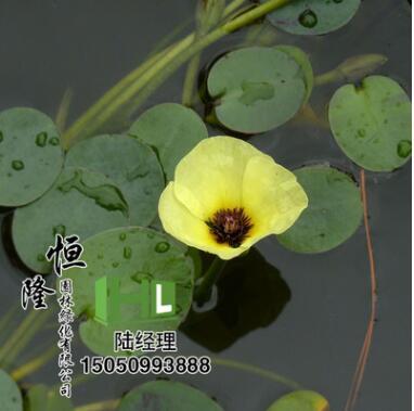 基地直销优质水生植物 观花水生植物 水罂粟 水生花卉 量大优惠