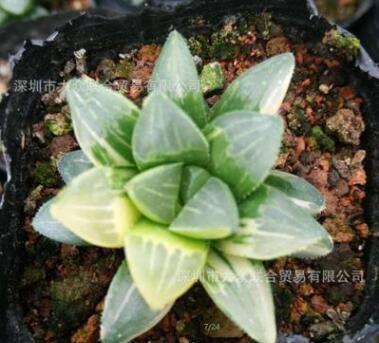 【姬寿锦】实物拍摄 多肉植物