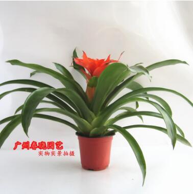 凤梨花是观花观叶盆栽植物 莲座状叶丛 平头红