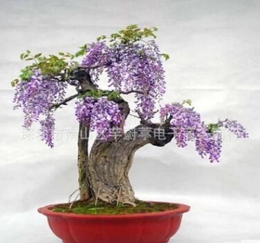 日本多花紫藤种子 紫藤盆景 庭院攀援植物围墙朱腾萝花