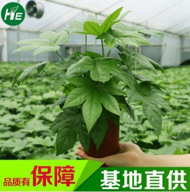 八角金盘植物小盆栽室内观叶植物