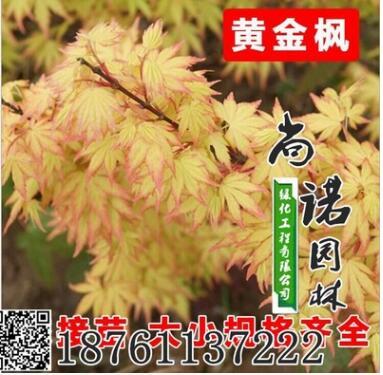 绿化苗木日本橙之梦黄金枫树苗庭院地栽金陵黄金枫红枫树苗包邮