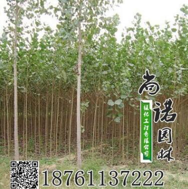 批发 白杨树苗 白杨苗 速生杨树 规格齐全园林绿化苗木量大优惠