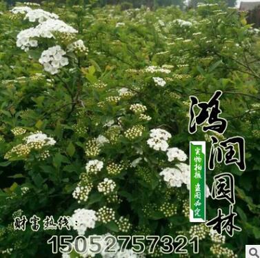 基地批发灌木珍珠金焰绣线菊 红花喷雪花绣线菊园景植物观花植物