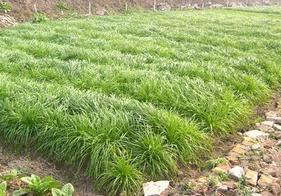 宽叶多年生南方型黑麦草种子 家禽动物专用牧草生长繁茂 30元/斤