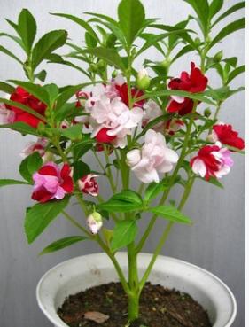 庭院阳台花卉籽 七彩凤仙花 指甲花 四季盆栽 自播型 混色 50粒