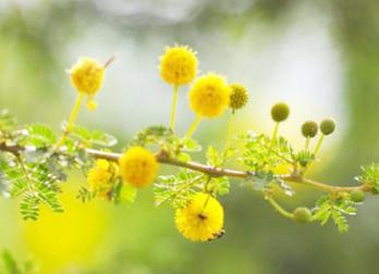 批发边坡绿化工程四季护坡金合欢花境地被水保灌木草种