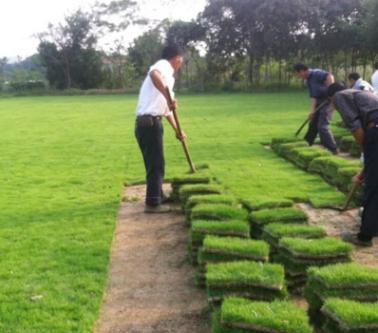 热销推荐马尼拉草坪 基地直销 耐践踏弹性好 耐寒耐旱 价格优惠