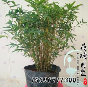 盆景竹子 米竹苗盆栽 凤尾竹观音竹 观赏竹子庭院小型竹子 凤尾竹