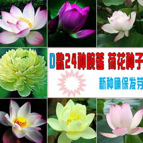 水培植物碗莲种子 荷花种子包品种包出芽24种颜色