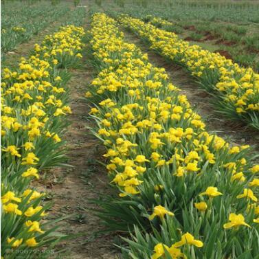 供应各种工程绿化小苗 花卉 大量批发 价格实惠 优质 金娃娃萱草