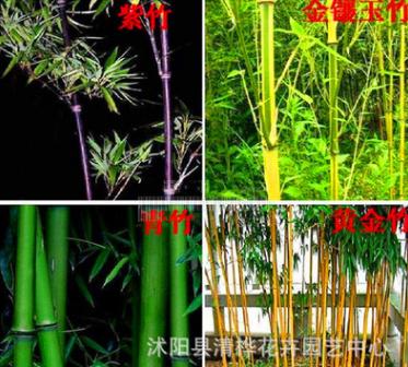 供应慈竹 绿化苗木 基地苗圃直销 竹类植物