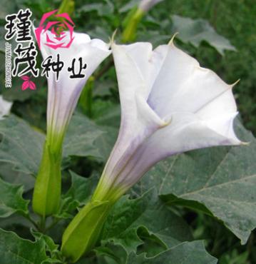 批发花卉种子曼陀罗 四季庭院阳台 盆栽观花植物种子