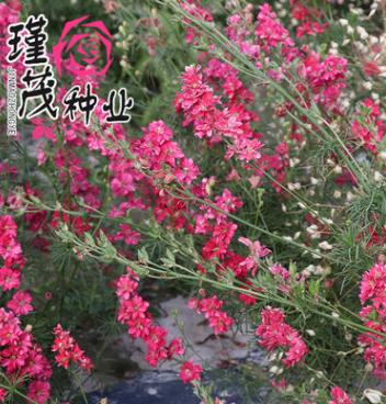 批发飞燕草种子 大飞燕种子 园林工程观花植物花卉品种全