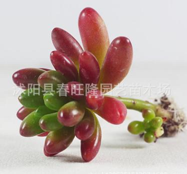 多肉植物防辐射 黄丽 元宝 芦荟 虹之玉 十二卷迷你盆栽