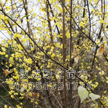 批发腊梅树苗素心腊梅花 盆栽盆景红心腊梅 高档名贵绿化苗木