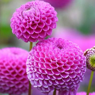 批发供应种球 大丽花种球 大丽花绚丽花色 量大优惠