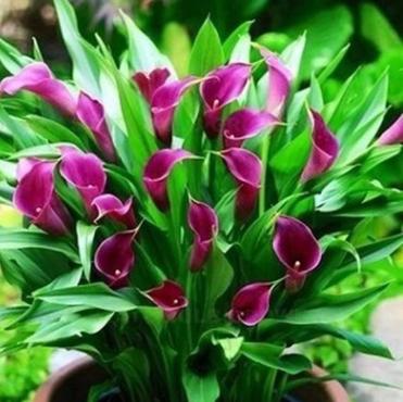 批发彩色马蹄莲种球 花卉盆栽种球量大从优 全国包邮