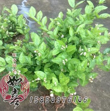 茉莉花苗 盆栽花卉白色重瓣香水茉莉芳香常开植物 净化空气