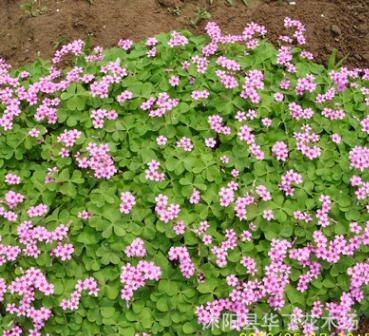 红花草 红花草苗 红花酢浆草 红花三叶草种芽 庭院绿化