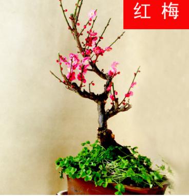 批发红梅盆栽苗 庭院室内盆栽 量大优惠