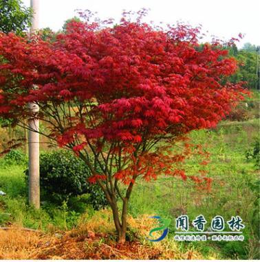 沭阳苗圃直销中国红枫日本红枫三季红枫树苗庭院观赏景观树苗木