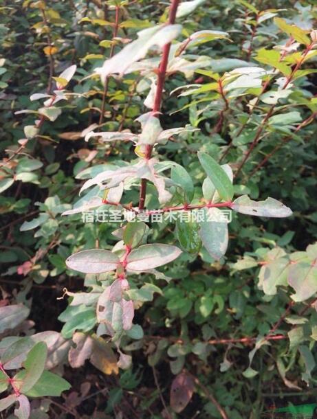 供应红刺梅 基地批发各种绿化苗木