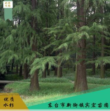 水杉树 风景美化