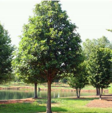 优质观赏树种美国娜塔栎彩叶苗木