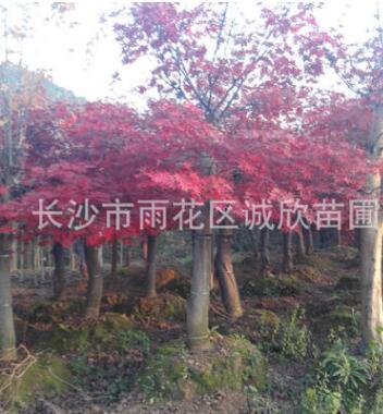 高杆红枫 彩叶绿化苗木