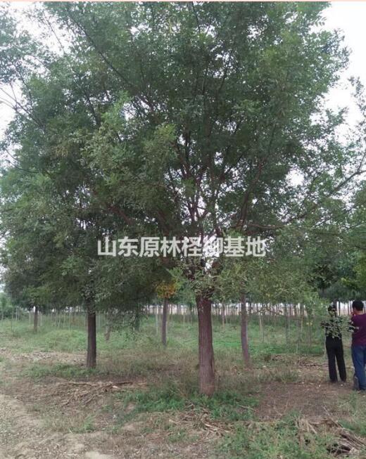 沾化国槐、国槐、柽柳价格、碱蓬草、碱篷种子