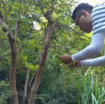 供应映山红造型树桩盆景粗9公分冠幅1.3米高1.6米