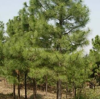 安徽湿地松价格 安徽湿地松供应 出售安徽安庆湿地松低价供应