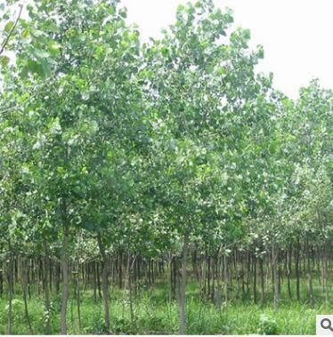 基地供应杨树苗 天然优质 速生杨树苗 一年两年杨树苗价格