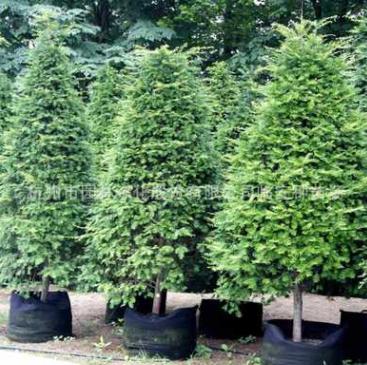 【画境】精品造型南方红豆杉塔5抗癌健康植物优质庭院行道绿植