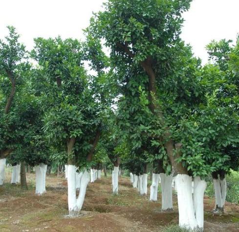 供应移栽香炮树