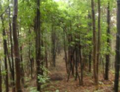 供应木荷胸径14-24公分