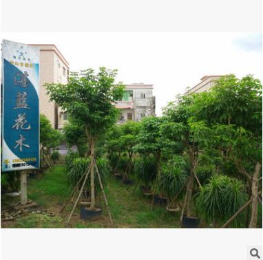 海南红豆 四季常绿 大乔木 万年青 防火抗风 主景 庭园