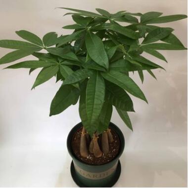 室内花卉净化空气招财笼子观赏盆栽竹笼发财树