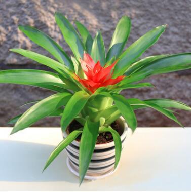 室内盆栽花卉净化空气植物细叶小红星火炬