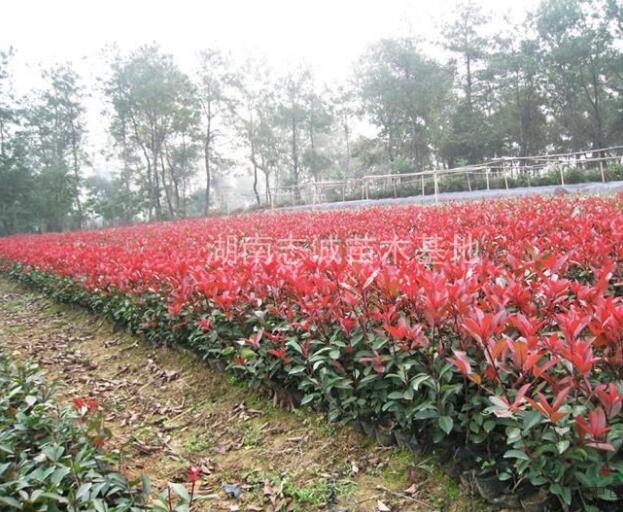 湖南红枫,红枫小苗,高杆嫁接红枫,日本红枫价格,美国红枫价