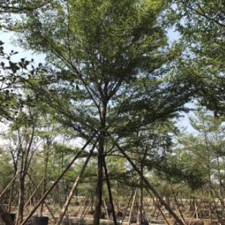 小叶榄仁(高度2-6米)