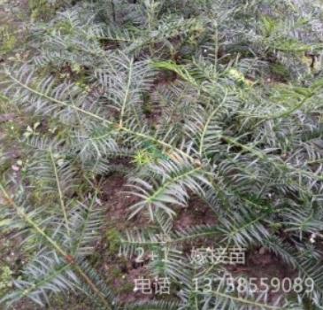 香榧树2+1嫁接苗