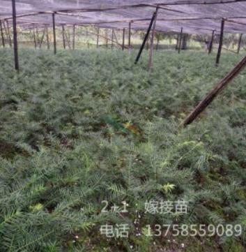 香榧子苗木