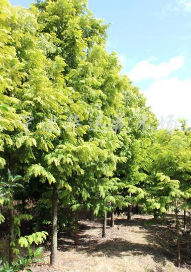 供应胸径3-9公分金叶水杉
