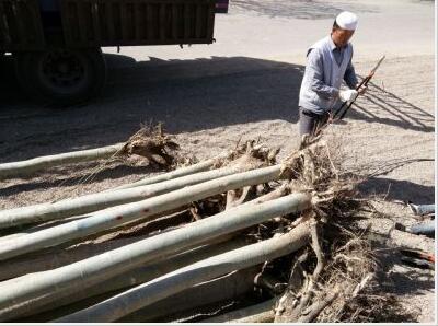 甘肃新疆杨4-15公分大量批发