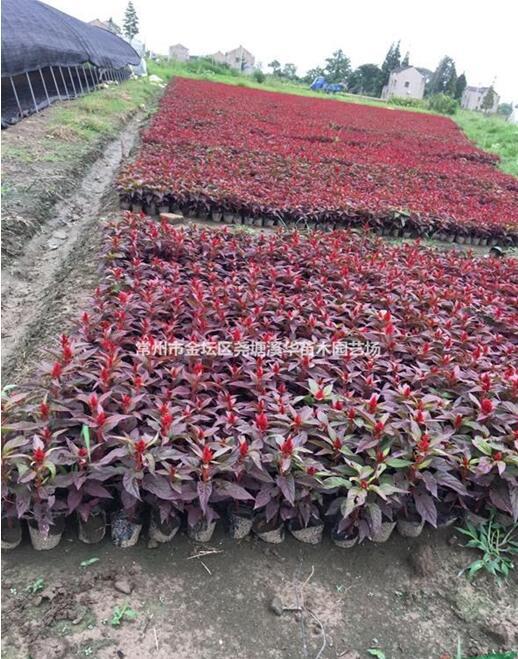 基地诚信批发:一串红, 孔雀草,矮牵牛,海棠