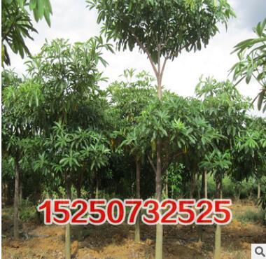 工程绿化苗木 灯台树 规格齐全 量大优惠 灯台树苗批发 货源充足