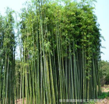 青皮竹子 四季常青庭院绿化观赏 绿化木常绿乔木规格齐全欢迎选购